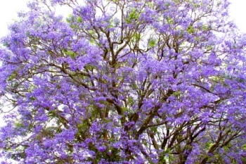 10704909-violet-tree-jacaranda-growing-in-the-province-of-mpumalanga-south-africa