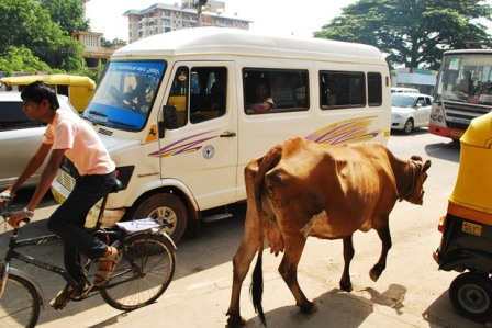 indian-cows-sacred.jpg